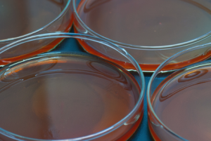 Laboratory agar, made from red seaweed.